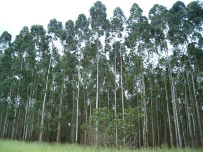 eucalipto 1