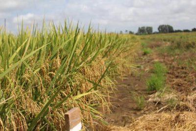 Arroz BRS Catiana cultivado em Arari.